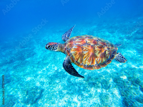Green sea turtle in shallow seawater. Big green sea turtle closeup. Marine species in wild nature.