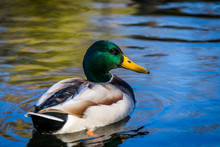 Mallard Duck Enjoying A Sunny ...