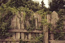 Old Wooden Fence With Creepers...