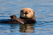 California Sea Otter Near Monterey