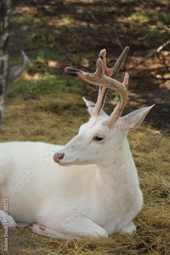 Photo Albino deer