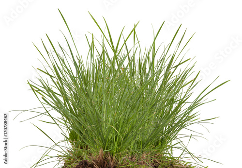 green fresh grass meadow isolated on white backgound Fototapeta