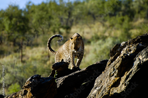 Plakat Lampart w Dzikim - Namibia
