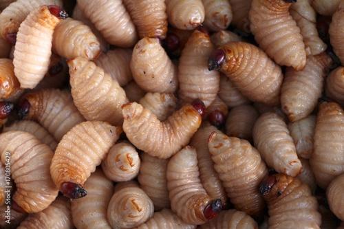 Red palm weevil, sago worm (Rhynchophorus ferrugineus) close up