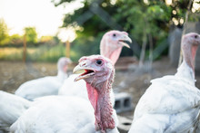 Large White Turkeys Behind The...