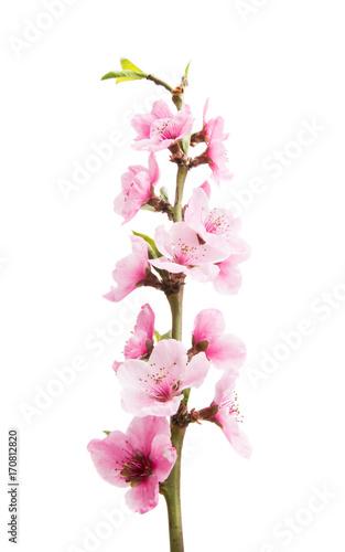 Foto op Plexiglas Magnolia Sakura flowers isolated