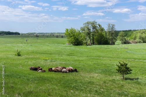 Fotografía  Herd of sheep on the field
