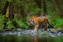 Amur Tiger Walking In River Wa...