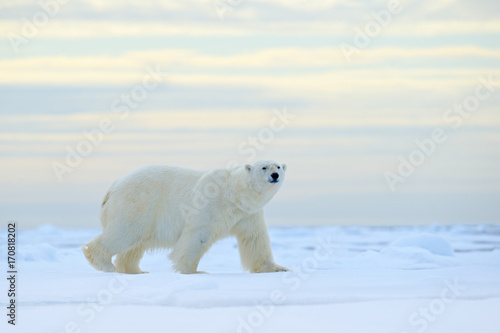 Staande foto Ijsbeer Polar bear on drift ice edge with snow a water in Arctic Svalbard. White animal in the nature habitat, Norway. Wildlife scene from Norway nature. Polar bear walking on ice, beautiful evening sky.