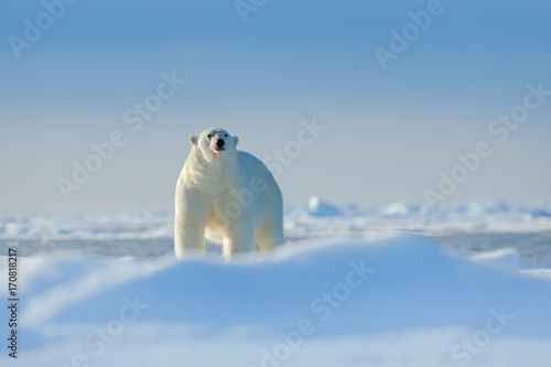 In de dag Ijsbeer Polar bear on drift ice edge with snow a water in Arctic Russia. White animal in the nature habitat, Russia. Wildlife scene from nature. Polar bear walking on ice, beautiful evening sky. Danger animal