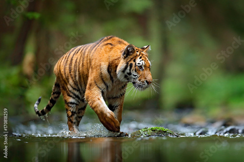 Tiger wildlife scene, wild cat, nature habitat. Amur tiger walking in river water. Danger animal, tajga, Russia. Animal in green forest stream. Grey stone, river droplet. Siberian tiger splash water.