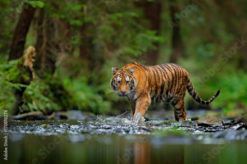 Carta da parati Amur tiger walking in river water