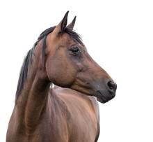 Horse On White Background