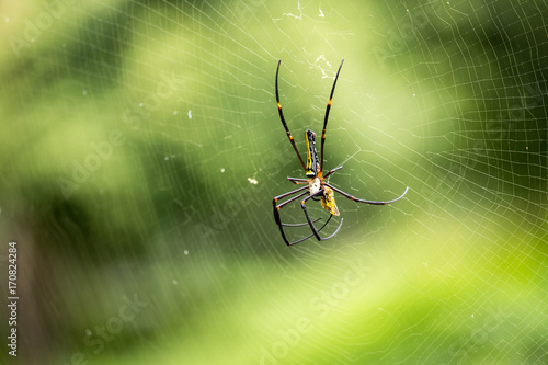 Plakat Straszny pająk (Araneae) w sieci zbliża się do zdobyczy z niewyraźne zielone tło