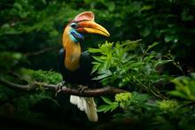 Knobbed Hornbill, Rhyticeros C...