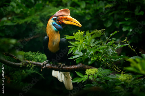 Photo Knobbed Hornbill, Rhyticeros cassidix, from Sulawesi, Indonesia