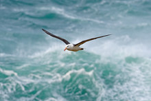 Albatross In Fly With Sea Wave...