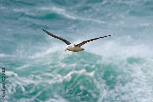 Vászonkép Albatross in fly with sea wave in the background