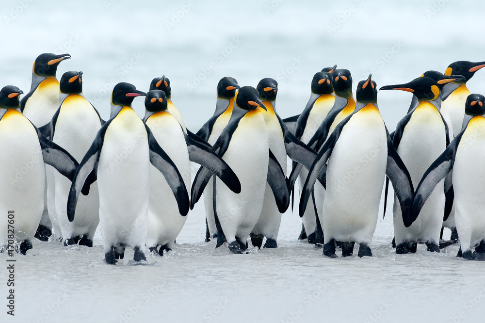 Animal from Antarctica. Group of king penguins coming back together from sea to beach with wave a blue sky, Volunteer Point, Falkland Islands. Wildlife scene from nature. cold winter with penguins.