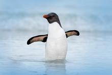Rockhopper Penguin, Eudyptes C...