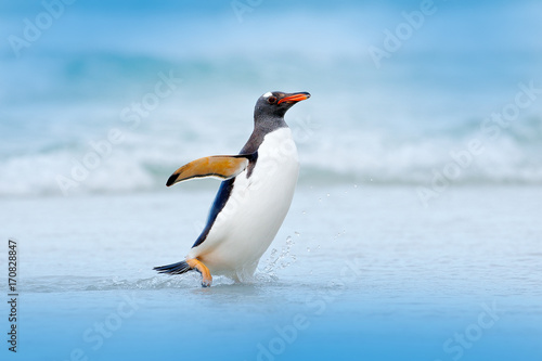 Penguin in water. Gentoo penguin jumps out of the blue water while swimming through the ocean in Falkland Island, bird in the nature sea habitat.  Wildlife scene in the nature. Bird in the water.