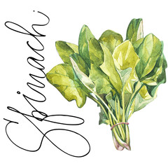 Plakat Botanical drawing of a spinach. Watercolor beautiful illustration of culinary herbs used for cooking and garnish. Isolated on white background.