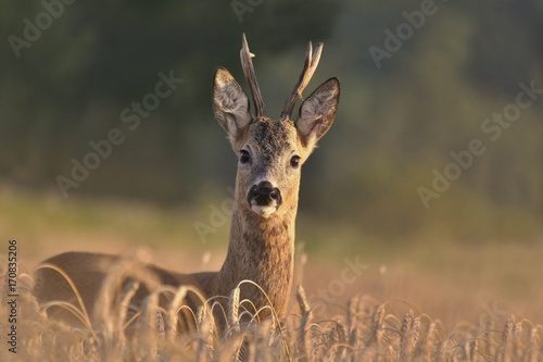 Wildlife scene from nature. Forest horned animal in the nature habitat. Beautiful deer standing in the field. Portrait of the deer.