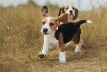 Funny Beagle Puppy