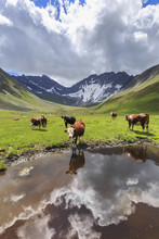 Cows Drink In A Puddle In The ...