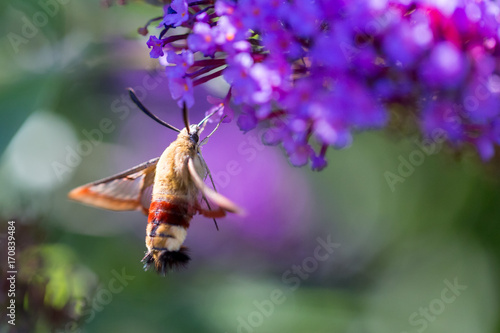 Foto auf AluDibond Schmetterling macro of a hummingbird hawk-moth on a flower from the side