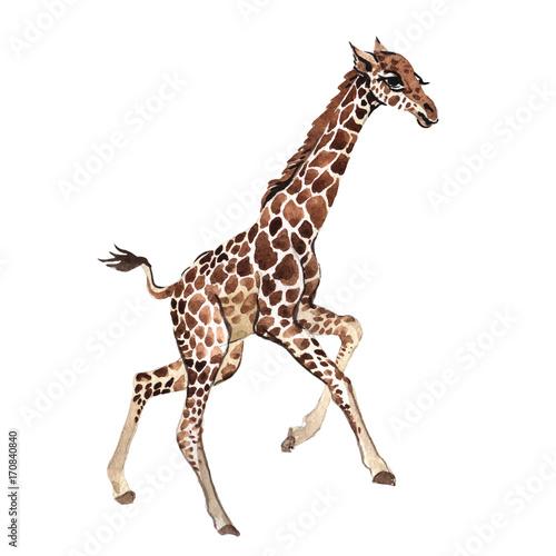 egzotyczne-zyrafy-dzikie-zwierze-w-akwareli