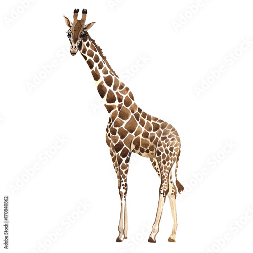 Photo  Exotic giraffe wild animal in a watercolor style isolated