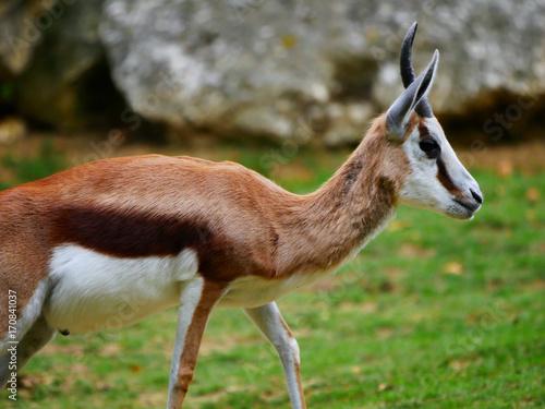 Antelope Antilope