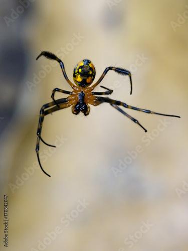 Plakat Wizerunek opadometa fastigata pająki (Leucauge w kształcie gruszki) na pajęczynie. Owad zwierzę