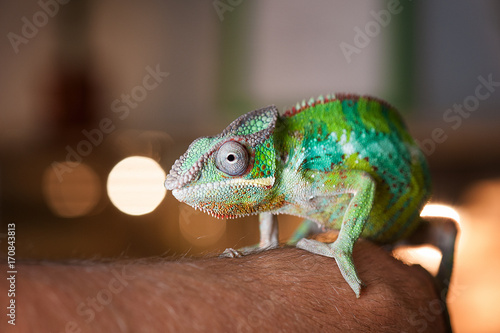 Detail of Chameleon's face on hand.
