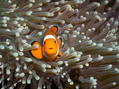 Fotografie, Tablou Clown anemonefish at underwater, Philippines