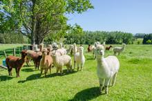 Alpacas In A Farm Of New Zeala...