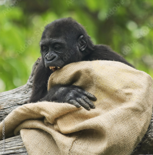 A Juvenile Western Lowland Gorilla Plays with a Sack Wallpaper Mural