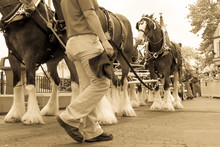 Clydesdale Horse Parade With Worker