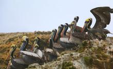 Brown Pelicans, Island Balesta...
