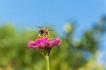 Bee Resting On A Zinnia Plant