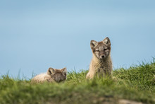 Arctic Fox Cubs Resting In The...