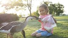 Girl Feeding Goose But Goose A...