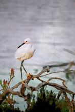 Watercolor Painting; The Snowy Egret On The Driftwood At Malibu Lagoon