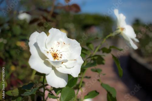 Fényképezés  Moonsprite; Floribunda Rose, White Rose Originally Produced by the Breeder Swim