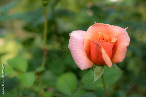 Photographie  Apricot Candy; Hybrid Tea Rose, Pink Rose Originally Produced by the Breeder Mei