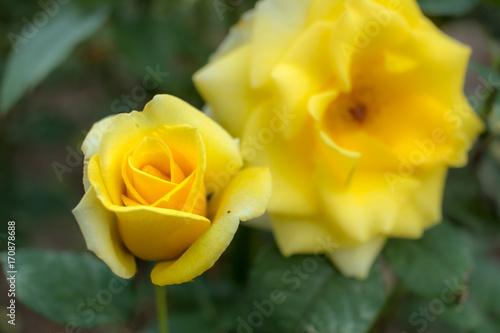Poster  Sun Goddess; Hybrid Tea Rose, Yellow Rose Originally Produced by the Breeder War