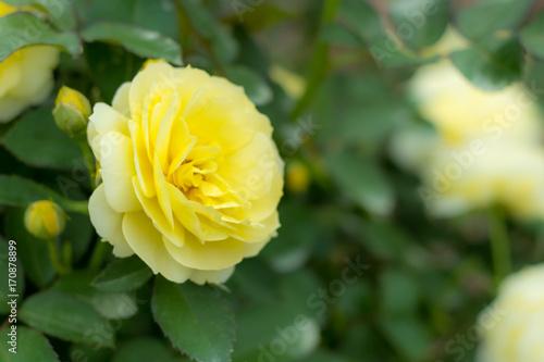 Poster  Golden Border; Floribunda Rose, Yellow Rose Originally Produced by the Breeder V
