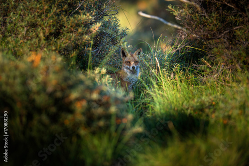 Red fox sitting in high grass between bushes.