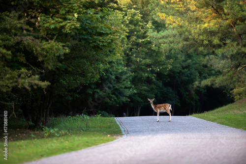 Leinwand Poster Fallow deer (dama dama) standing on road in nature reserve.